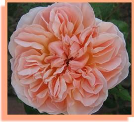 eglantyne rose david austin