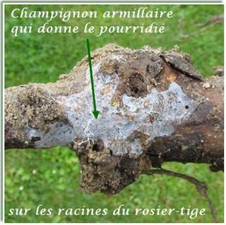 Maladies des rosiers - Maladie des rosiers photo ...